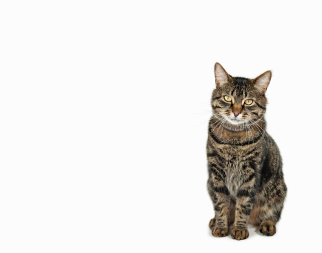 Looking At Camera「Domestic male tabby cat sitting」:スマホ壁紙(19)