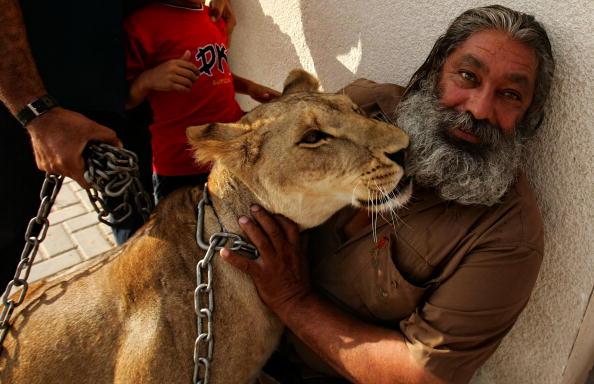 Abid Katib「Hamas Executive Force Police Return A Stolen Lioness To Gaza Zoo」:写真・画像(13)[壁紙.com]