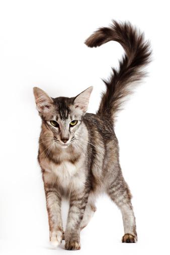 Cat「Oriental longhair」:スマホ壁紙(9)