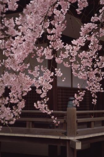 Cherry Blossoms「Daigo-ji Temple, Kyoto Prefecture, Japan」:スマホ壁紙(2)