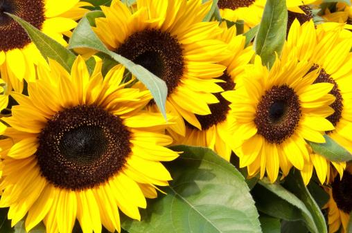 ひまわり「大きな Sunflowers」:スマホ壁紙(1)