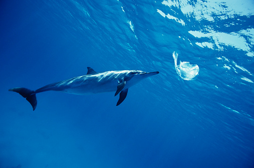 北アフリカ「Spinner Dolphin Playing with a Plastic Bag」:スマホ壁紙(2)