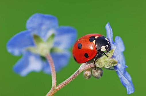 Ladybug「Seven-spot ladybird, Coccinella septempunctata, on blue blossom in front of green background」:スマホ壁紙(16)