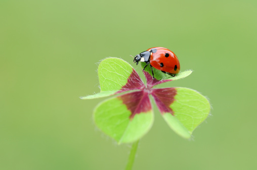四葉のクローバー「Seven-spot Ladybird (Coccinella septempunctata) at four-leaved clover」:スマホ壁紙(3)