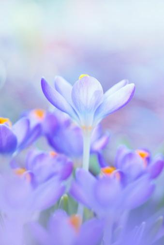 Crocus「Vertical beautiful pastel crocus flowers」:スマホ壁紙(19)