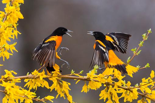 Bird「Baltimore oriole, icterus galbula, two male birds fighting」:スマホ壁紙(17)