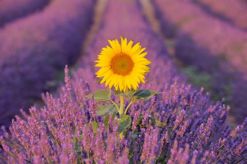 Provence-Alpes-Cote d'Azur「Sunflower in Lavender field.」:スマホ壁紙(15)