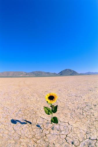 ひまわり「Sunflower in desert」:スマホ壁紙(4)