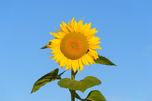 ひまわり「Sunflower in summer, Lauda-Koenigshofen, Baden-Wurttemberg, Germany」:スマホ壁紙(7)