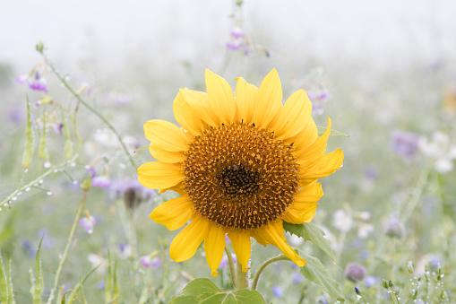 ひまわり「sunflower in full bloom」:スマホ壁紙(10)