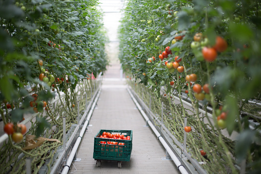Harvesting「Tomatoes ripening in greenhouse」:スマホ壁紙(0)