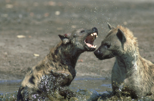 Mud「spotted hyena: crocuta crocuta  fighting in water. savuti.chobe np, botswana」:スマホ壁紙(10)
