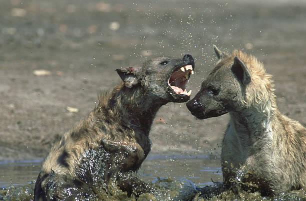 spotted hyena: crocuta crocuta  fighting in water. savuti.chobe np, botswana:スマホ壁紙(壁紙.com)