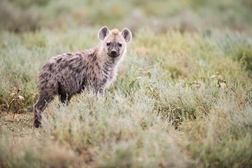 野生動物「Spotted Hyena (Crocuta crocuta) stares from low shrubs near Ndutu, Ngorongoro Crater Conservation Area」:スマホ壁紙(9)