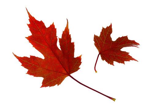 かえでの葉「Two red maple leaves floating, on white background」:スマホ壁紙(15)