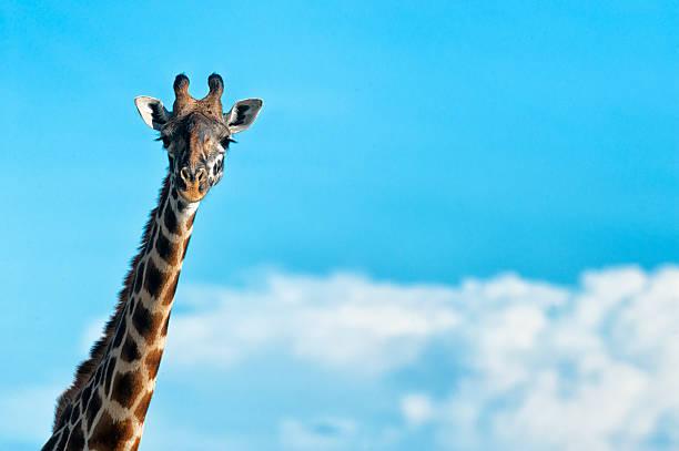 Masai giraffe against blue sky:スマホ壁紙(壁紙.com)