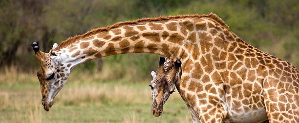 Masai Giraffe (Giraffa camelopardalis tippelskirchi) pair, Masai Mara National Reserve, Kenya:スマホ壁紙(壁紙.com)