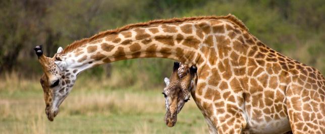 Giraffe「Masai Giraffe (Giraffa camelopardalis tippelskirchi) pair, Masai Mara National Reserve, Kenya」:スマホ壁紙(11)