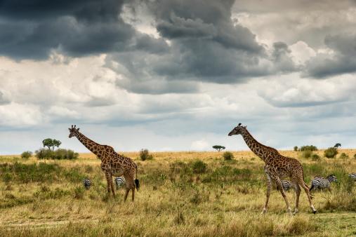 キリン「Masai giraffes against stormy sky」:スマホ壁紙(14)