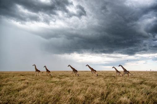 Giraffe「Masai giraffes against stormy sky」:スマホ壁紙(15)