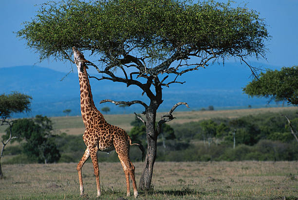 Masai giraffe (Giraffa camelopardalis tippleskirchi) reaching out to eat leaves, Masai Mara N.R, Kenya:スマホ壁紙(壁紙.com)