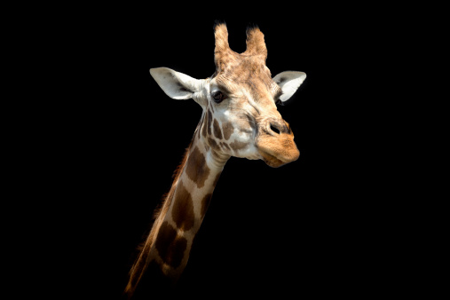 Giraffe「Masai Giraffe against a black background」:スマホ壁紙(1)
