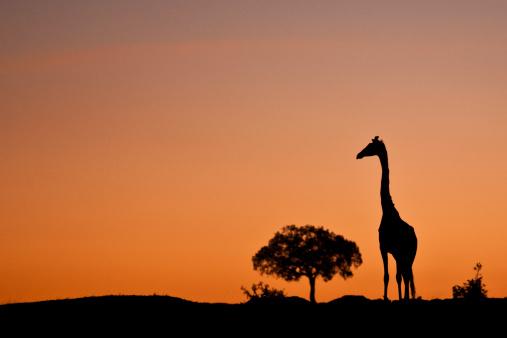 Giraffe「Masai Giraffe walking across the plains at sunrise」:スマホ壁紙(11)
