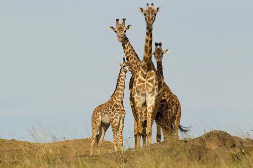 Giraffe「Masai giraffe herd on hill in the Masai Mara Game Reserve」:スマホ壁紙(7)