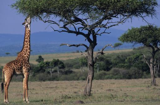 キリン「Masai giraffe (Giraffa camelopardalis) eating leaves, Kenya」:スマホ壁紙(15)