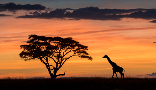 Giraffe「Masai giraffe」:スマホ壁紙(14)