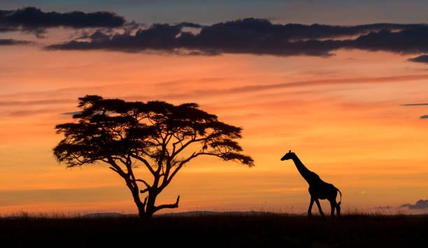 Masai giraffe:スマホ壁紙(壁紙.com)