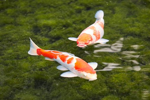 Carp「Pair of Koi carp in the Koraku-en garden」:スマホ壁紙(18)