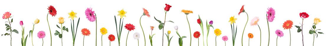 チューリップ「ダンスの花のボーダー」:スマホ壁紙(0)