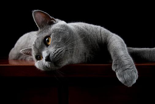 黒猫「ショートヘア種の猫でカメラに向かってポーズを取るイギリス」:スマホ壁紙(15)