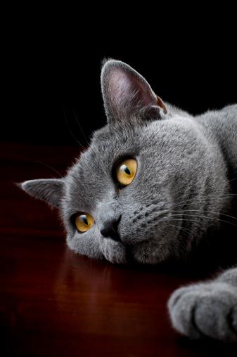 ショートヘア種の猫「Cat 英国ショートヘア種の猫にカメラに向かってポーズを取る」:スマホ壁紙(14)