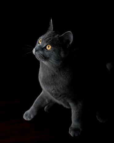 ショートヘア種の猫「Cat 英国ショートヘア種の猫の半分を超越性照明」:スマホ壁紙(19)