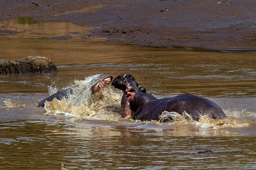 カバ「Hippos fighting.」:スマホ壁紙(19)