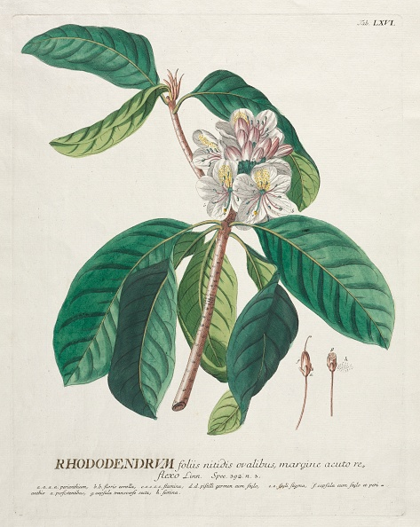 Hand Colored「Plantae Selectae: No. 66 - Rhododendron. Creator: Georg Dionysius Ehret (German」:写真・画像(9)[壁紙.com]