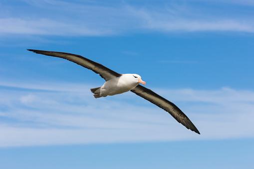 Falkland Islands「Albatross in flight」:スマホ壁紙(18)