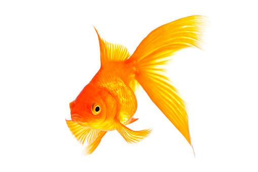 Goldfish「金魚」:スマホ壁紙(11)