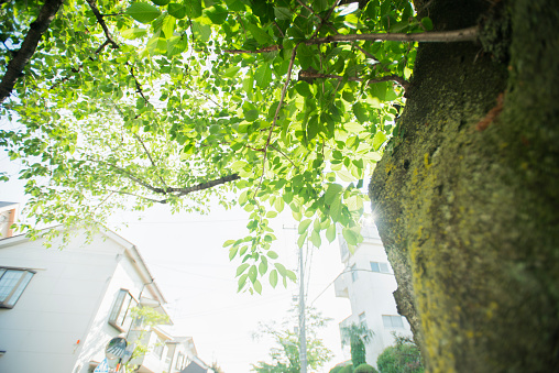 Low Angle View「Shining leaves in residential area in Tokyo.」:スマホ壁紙(13)