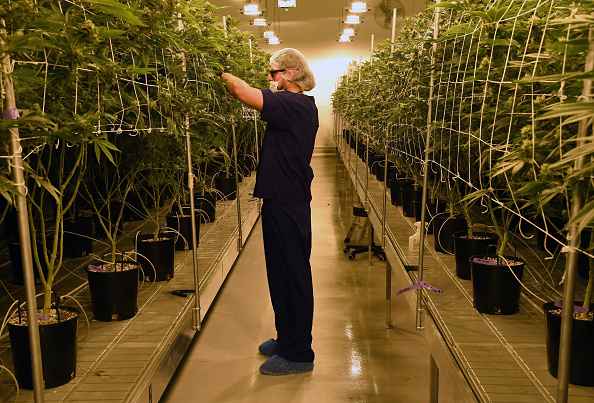Growth「Marijuana Cultivation Center In Nevada Ramps Up Production As State Legalizes Recreation Use Of Weed」:写真・画像(1)[壁紙.com]