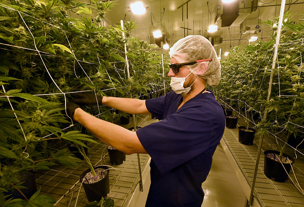 ネバダ州「Marijuana Cultivation Center In Nevada Ramps Up Production As State Legalizes Recreation Use Of Weed」:写真・画像(17)[壁紙.com]