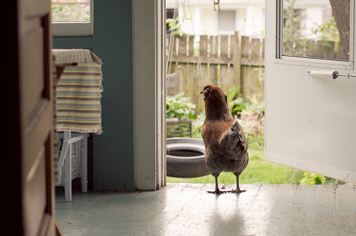 Chicken - Bird「Chicken standing in kitchen doorway」:スマホ壁紙(17)