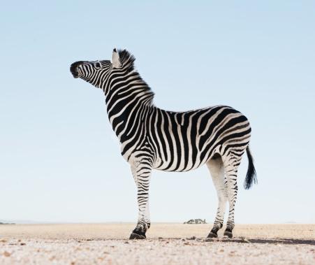 Zebra「Zebra (Equus burchellii) in open landscape, (Digital Enhancement)」:スマホ壁紙(7)