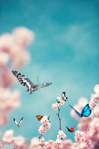 Cherry Blossoms「Colorful Butterflies On Cherry Tree」:スマホ壁紙(5)
