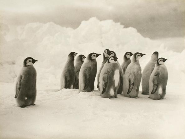 Frank Hurley「Young Emperor Penguin Chicks」:写真・画像(17)[壁紙.com]
