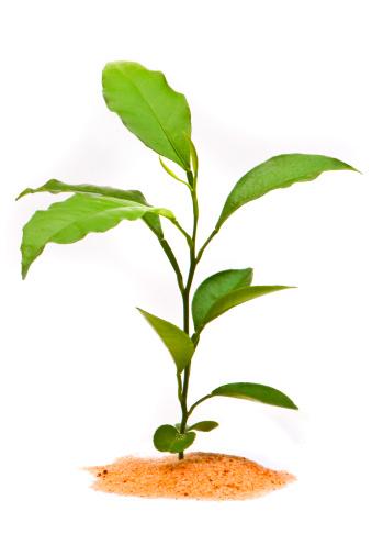 葉・植物「Young plant in desert, isolated on white background」:スマホ壁紙(16)