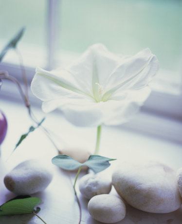 朝顔「Moonflower blossom on window sill」:スマホ壁紙(8)