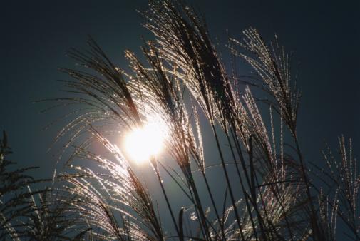 Japanese pampas grass「Japanese Pampas Grass」:スマホ壁紙(17)